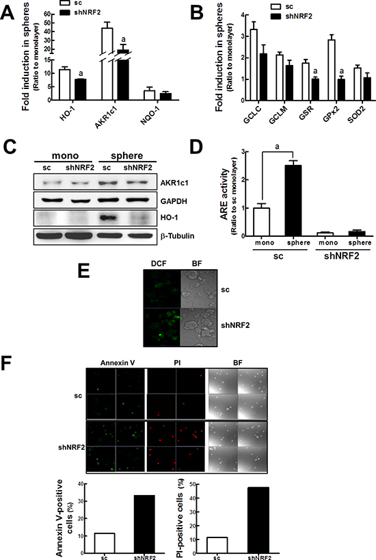 Enhanced ROS and cell death in shNRF2 mammospheres.