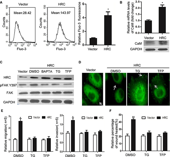 HRC promotes HCC cell invasion and migration by Ca2+/CaM signal.