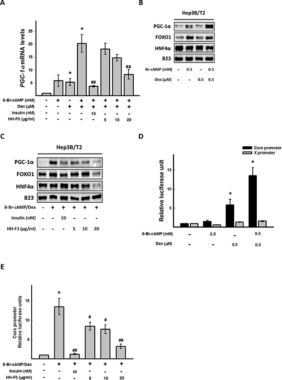 HH-F3 suppresses 8-Br-cAMP/dexamethasone-induced coactivator transcription factor gene expression and HBV core promoter activity.