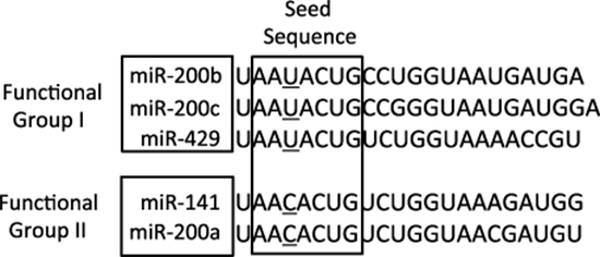 The sequences of the mature miRNA-200 family members.