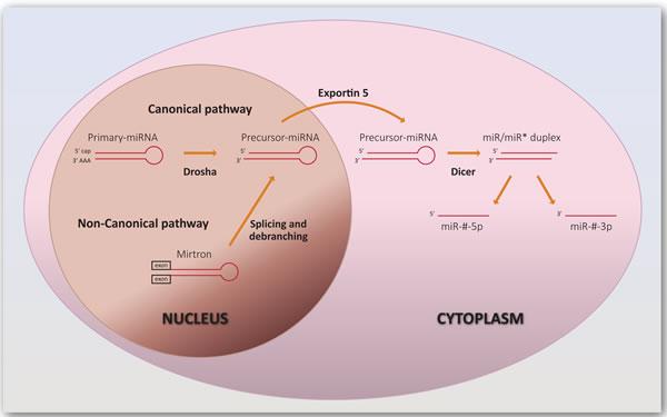 Biogenesis of miRNAs.