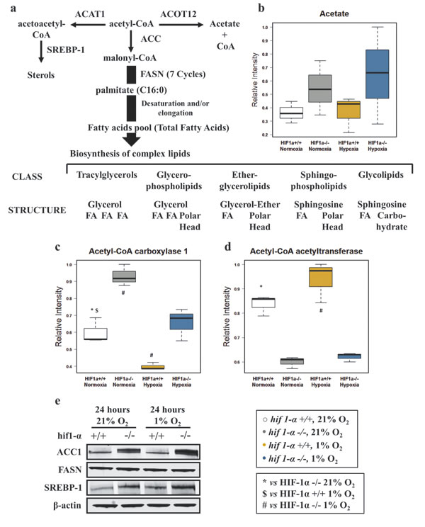Alteration of key metabolic enzymes for the de novo fatty acids biosynthesis in HCT116 colorectal cancer cells in hypoxia.
