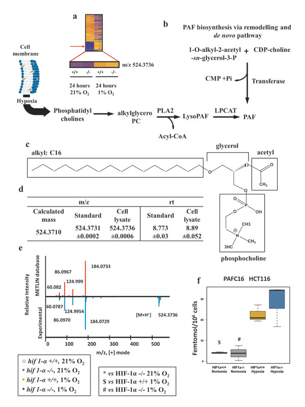 Platelet activating factor C16 (PAFC16) is regulated in hypoxia independently of HIF1α.