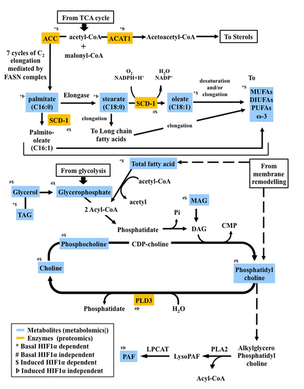 Proteo-metabolomic integrative overview of the altered metabolic pathways under hypoxia and their dependence on HIF1α.