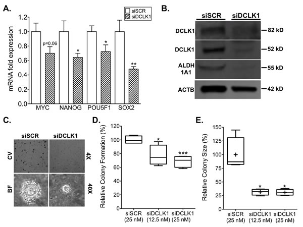 siRNA-mediated knockdown of DCLK1 inhibits pluripotency, drug-resistance, and clonogenic capacity in RCC cells.