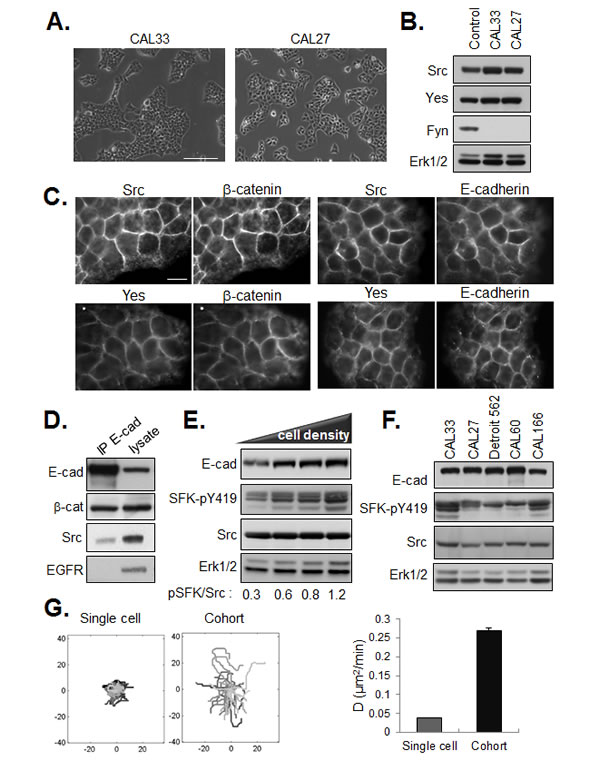 Localization of SFKs in E-cadherin based cell-cell junctions.