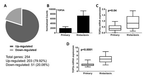 Topoisomerase IIα (Top2a) is up-regulated in murine and human metastatic prostate cancer.