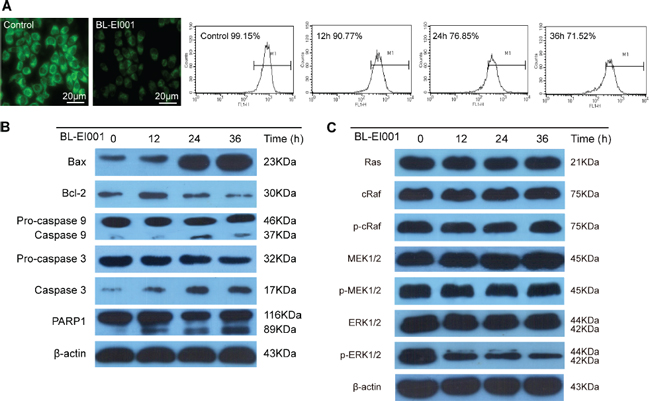 BL-EI001-induced apoptotic mechanism is the mitochondrial pathway but not the Ras-Raf-MEK1/2 pathway.