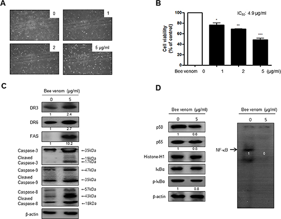 Effect of BV on cell viability and morphological changes of human primary cervical cancer cells.