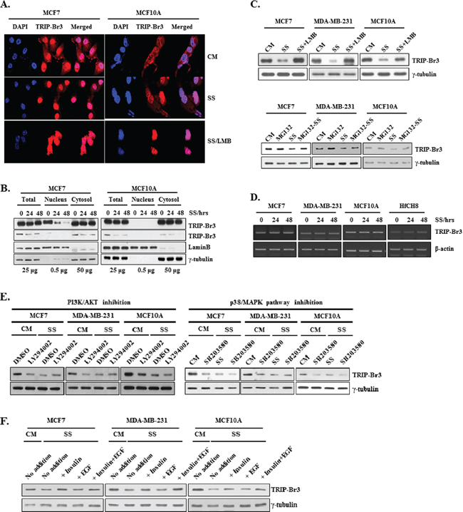 Change of TRIP-Br3 expression level in different sub-cellular localizations under serum starvation.