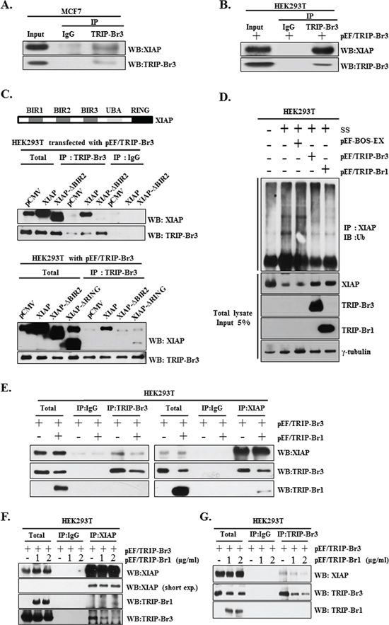 Positive effect of TRIP-Br3 and TRIP-Br1 on the XIAP stability during serum starvation and competitive interaction between TRIP-Br3 and TRIP-Br1 for the binding to XIAP.