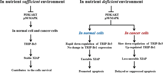 Summary model showing the coordinated regulation by TRIP-Br3 and TRIP-Br1 with anti-apoptotic functions in normal and cancer cells in response to serum deprived condition.