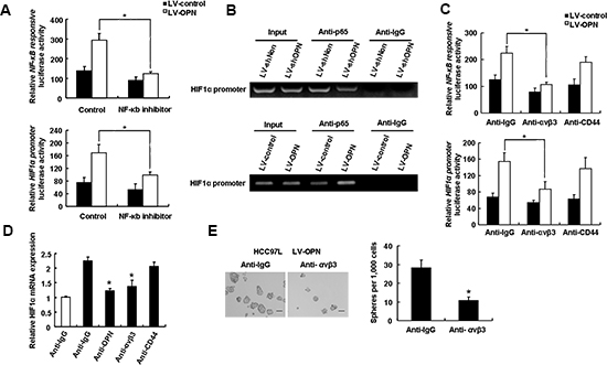 An integrin αvβ3-NF-κB pathway mediates OPN-induced stemness.