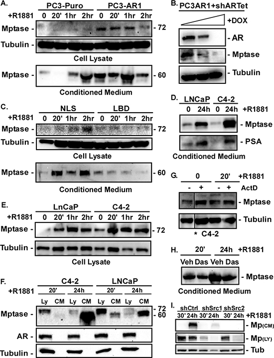 AR stimulates Matriptase activation and extracellular shedding in a non-nuclear fashion.