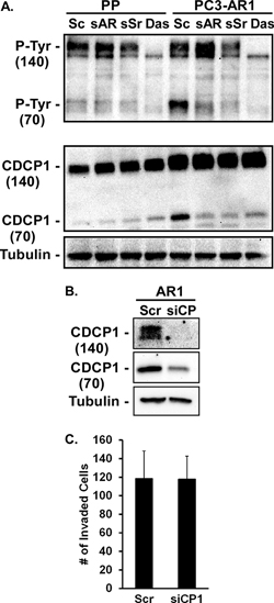 CDCP1 activity is regulated by AR and Src.