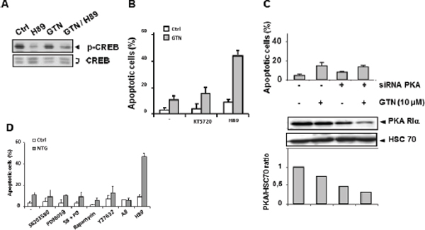 PKA is not involved in GTN/H89-induced apoptosis.