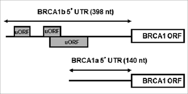 Structures of BRCA1 mRNAa and mRNAb.