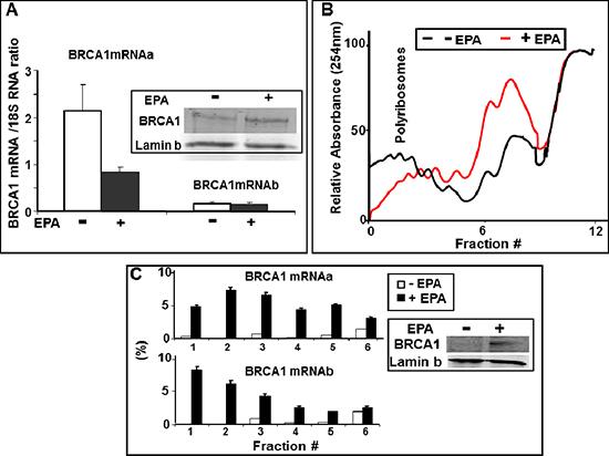 EPA translationally upregulates BRCA1 expression.