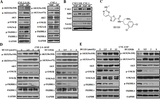 The effect of DC120 on phosphorylation of AKT downstream targets in NPC cancer stem-like SP cells.