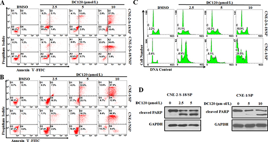 DC120 induced apoptosis in NPC cancer stem-like SP cells.
