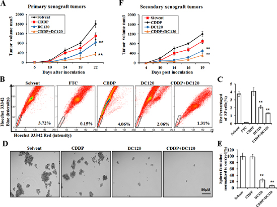 DC120 decreased tumor size and eradicated cancer stem-like SP cells in vivo.