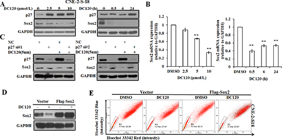 The effect of DC120 on Sox2 expression in NPC cancer stem-like SP cells.