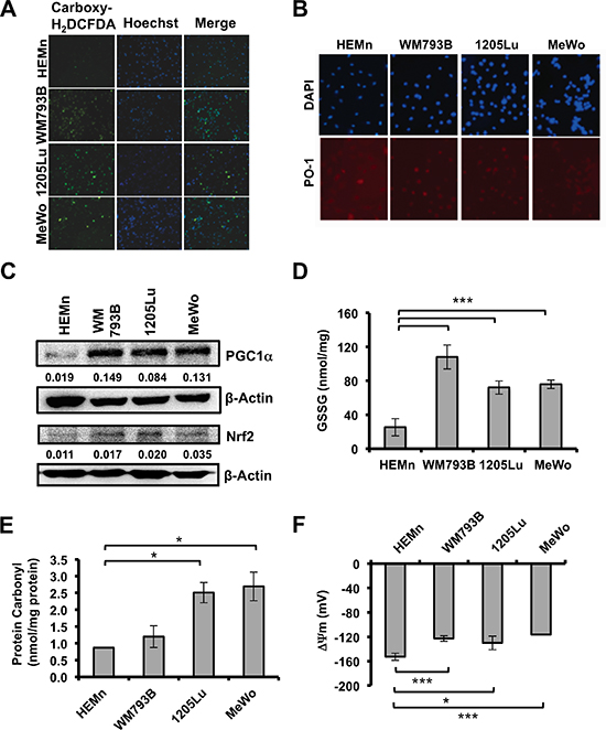 Basal ROS and oxidative stress markers in melanoma cells and melanocytes.