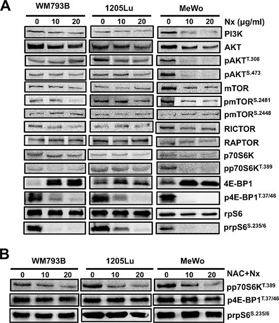 NexrutineR inhibits PI3K/AKT/mTOR signaling through oxidative stress modulation.