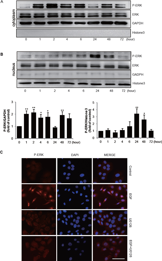 EGF induces P-ERK transportion to nucleaus.