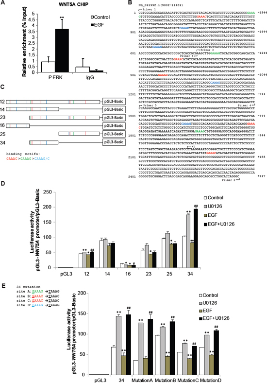 P-ERK binds to Wnt5a promoter and represses Wnt5a transcription.