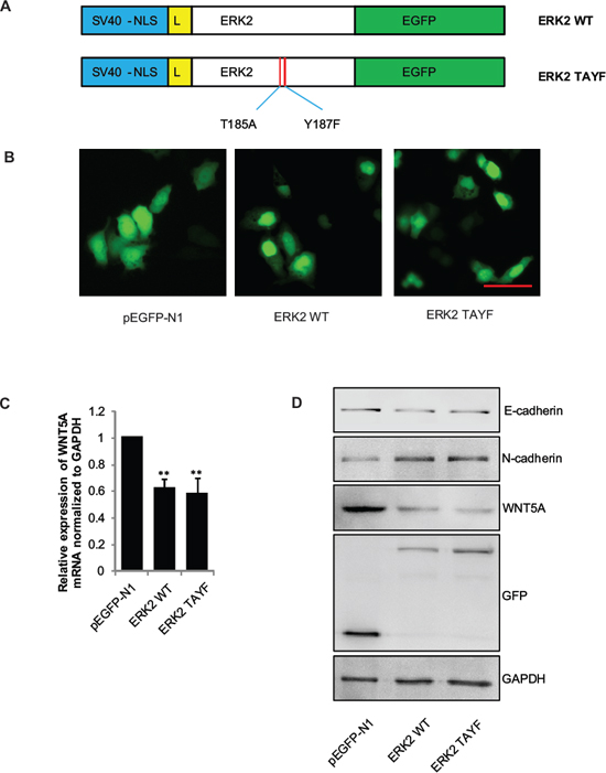 Wnt5a transcription and expression requires ERK2 nulear translocation, but not its phosphorylation.