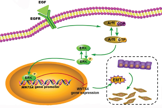 Schematic model for the function of the EGF/Arf6/ERK axis in Wnt5a expression and EMT regulation.