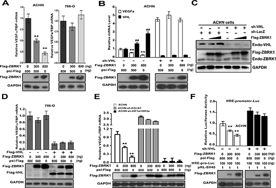 ZBRK1 inhibits the transcription of VEGF through the VHL/HIF pathway.