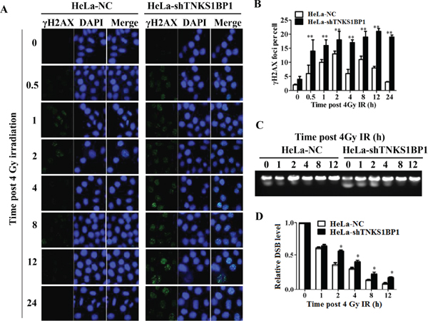 Depletion of TNKS1BP1 leads to defective DNA double-strand break repair.