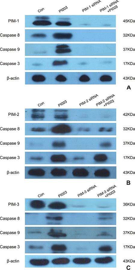 PI003 induces apoptosis by targeting PIM1, PIM2 and PIM3.