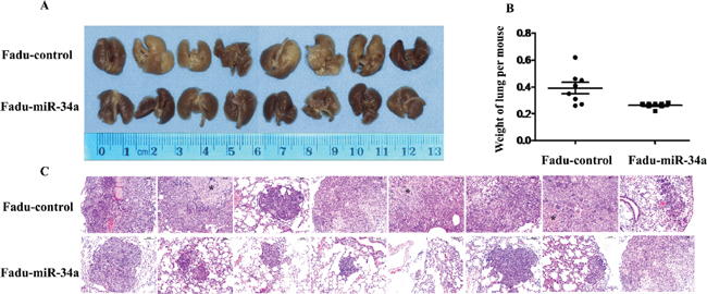 MiR-34a reduced metastatic potential of HNSCC cells in vivo.