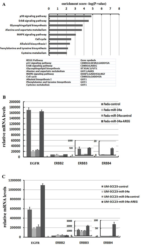 miR-34a involves in ErbB pathway though suppressing AREG.