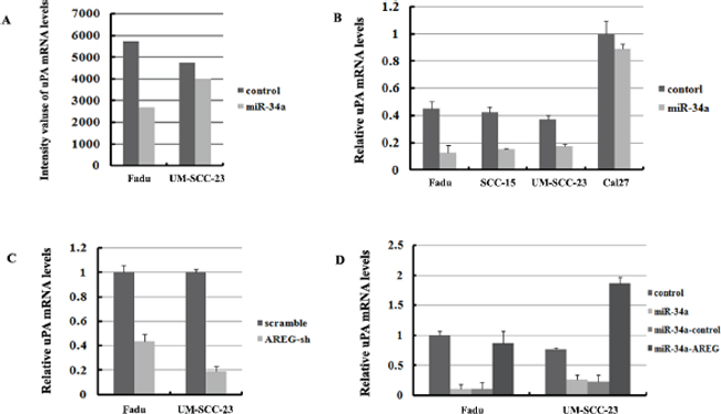 UPA is regulated by miR-34a though inhibition of AREG.