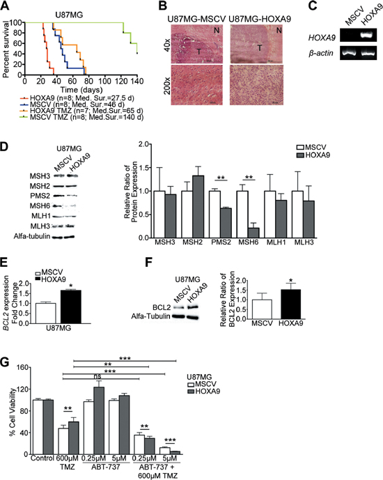 HOXA9 decreases overall survival and increases resistance to temozolomide in vivo via mismatch-repair and BCL2 proteins.