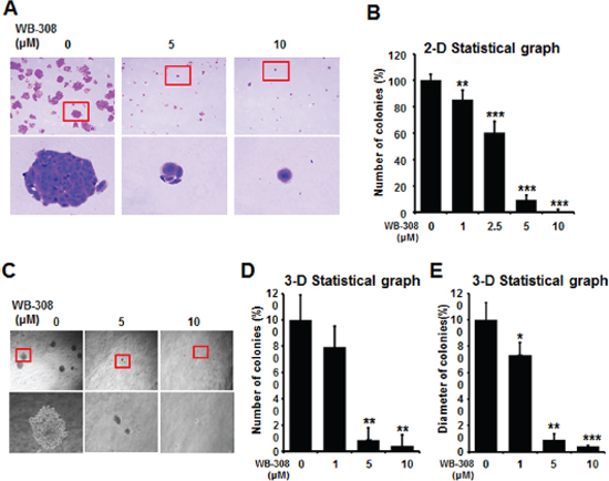 WB-308 inhibits colony formation of NSCLC cells.