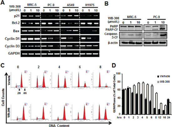 WB-308 induces NSCLC cell apoptosis and arrests NSCLC cell at G2/M phase.