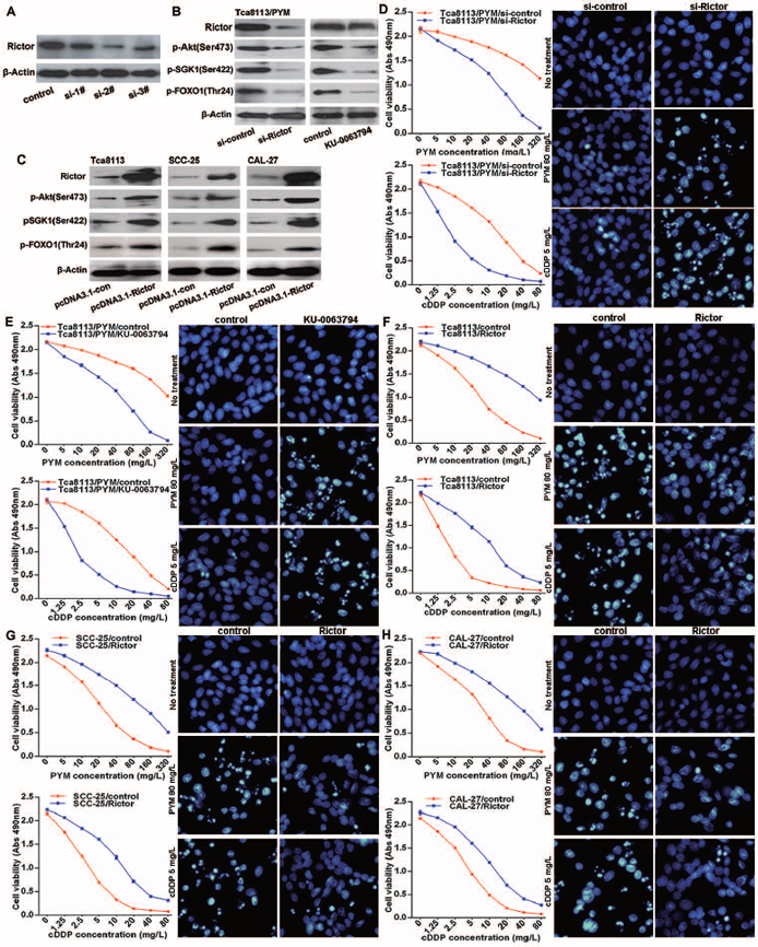 mTORC2 activation enhances chemo-resistance in tongue cancer cells.