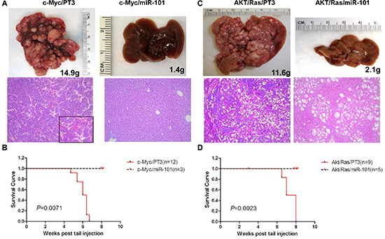 Overexpression of miR-101 efficiently inhibits c-Myc and AKT/Ras induced liver tumor development.