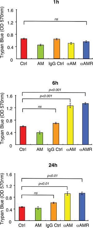 αAM and αAMR increase endothelial cell permeability in vitro.