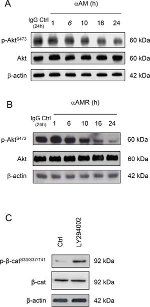αAM and αAMR decrease phosphorylation of Ser473Akt in vitro.