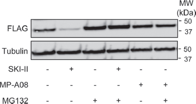MP-A08 does not induce degradation of SK1.