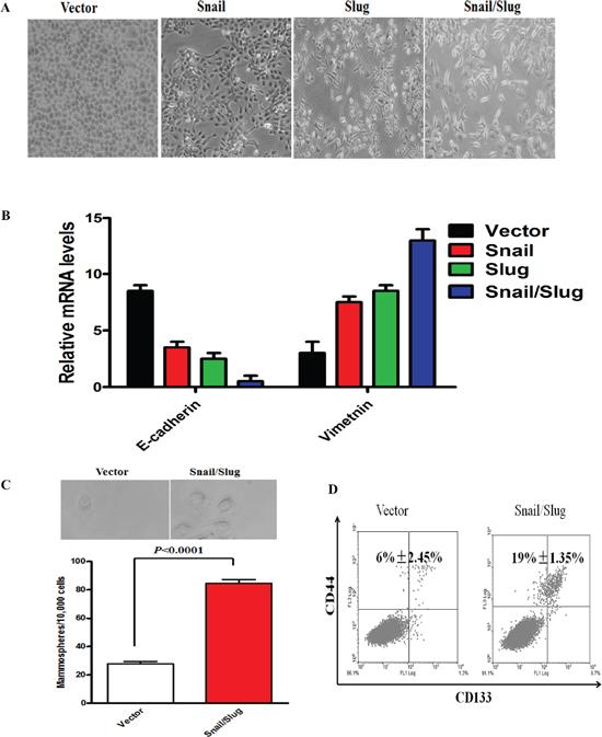 Snail/Slug-induced EMT generated stem cell-like cells.