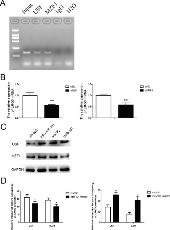 MiR-101 suppresses the binding of USF and MZF1 to the LMO3 promoter.