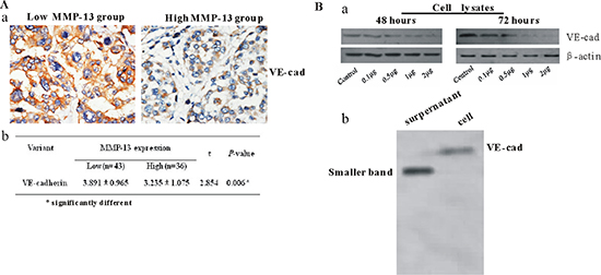 MMP-13 decreases expression of VE-cadherin both in vivo and in vitro.