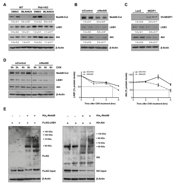 LKB1 and Akt as new targets of neddylation.